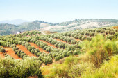 Landscape with Olives plants — Stock Photo