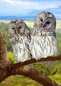 Two Grey Owls on tree — Stock Photo