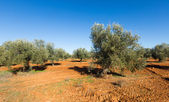 Landscape with Olives field — Stock Photo