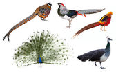 Indian Peafowl and pheasant  birds — Stock Photo