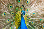 Male Indian Peafowl — Stock Photo