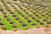 Olives fields in  winter day — Stock Photo