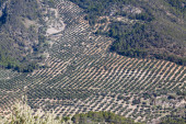View down the hill at olives fields — Stock Photo
