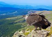 Griffon   in wildness area — Stock Photo