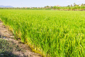 Rice fields at Ebro Delta   — Stock Photo