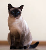 Sitting young adult siamese cat — Stock Photo