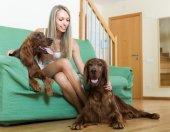 Девушка с двух ирландских сеттеров на дому — Стоковое фото