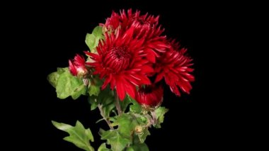 Blooming red chrysanthemum flower buds ALPHA matte, Full HD. — Vídeo de stock