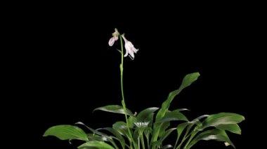 Blooming violet hosta flower buds ALPHA matte, FULL HD — Stock Video