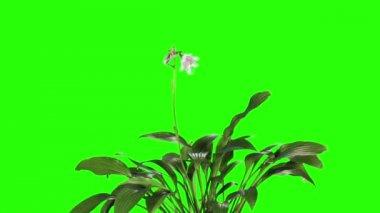 Blooming violet hosta flower buds green screen, FULL HD. — Stock Video