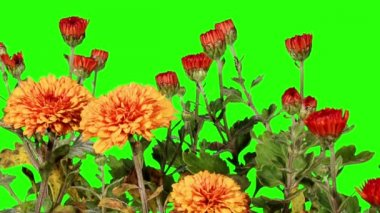 Blooming orange chrysanthemum flower buds green screen, Full HD — Vídeo de stock