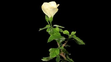 Blooming white Hibiscus flower buds ALPHA matte, FULL HD — Stock Video