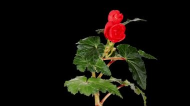 Blooming red Begonia flower buds ALPHA matte, FULL HD — Stock Video