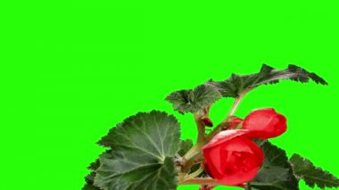 Blooming red Begonia flower buds green screen, FULL HD. (Begonia Barkos) (Time Lapse) — Stock Video