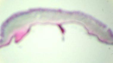 Slice of lichens under the microscope (Lichens Sec.), Full HD — Stock Video