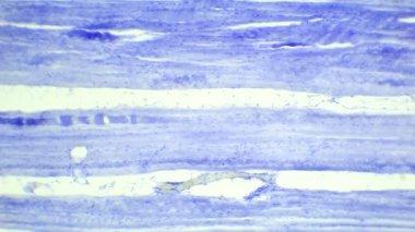 Skeletal muscle tissue longitudinal section under a microscope, Skeletal muscle L.S., Full HD — Vidéo