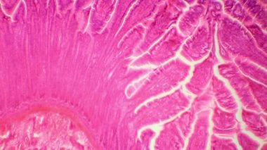 Сross-section of the small intestine under the microscope (Small Intestine Sec.), Full HD — Stock Video