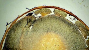 Cross section of the spinal cord under microscopic (Spinal cord S.C.), Full HD — Stock Video