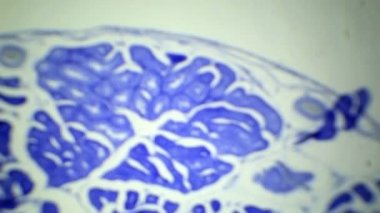 Slice the Testis cat under the microscope (Testis Sec.), Ful HD — Stock Video