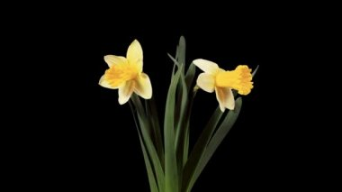Yellow narcissus blossom buds ALPHA matte, FULL HD (Narcissus Ice Follies). timelapse — Stock Video