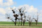 Грачи сидят на деревьях в степи, Ростовская область, Россия — Стоковое фото
