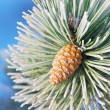 Macro of spruce. — Stock Photo #52642279