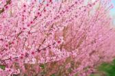 Branch of spring peach flower — Foto Stock