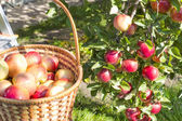 Reds ripe apples on apple in — Stock Photo