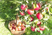 Reds ripe apples on apple — Stock Photo