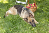 Dog is guarding apples in the garden — Stock Photo