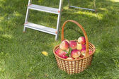 Basket with red apples in the garden — Stock Photo
