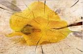 Yellow Calla  — Stock Photo