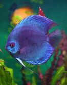 Blue discus fish in aquarium — Stock Photo