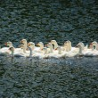 Young geese swimming on lake — Stock Photo #54756141
