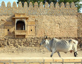 Indian cow on background of ancient building — Stok fotoğraf