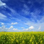 Beautiful flowering rapeseed field under blue sky — Stock Photo #57653715
