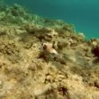 Black Spotted fish in Red Sea — Stock Video #69293597