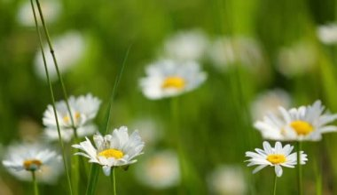 Daisies flowers on meadow — Vídeo de Stock