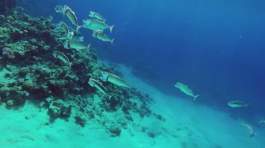 School of Indian mackerel — Stock Video