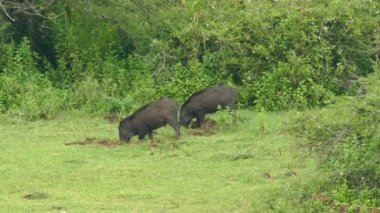 Wild boars searching for food — Stockvideo