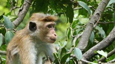 Monkey macaque on tree — Stock Video
