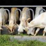 Goats eating grass on farm — Stock Photo #70740487
