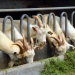 Goats eating grass on farm — Stock Photo #70740493
