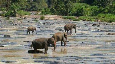 Elephants in river of Sri Lanka — Stock Video