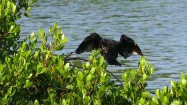 Great Cormorant over water — Stock Video