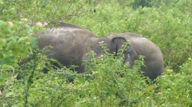 Indian elephants family — Stock Video