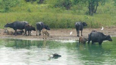 Many wild buffaloes in lake — Stock Video