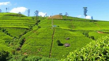 Tea plantation in Sri Lanka — Stock Video