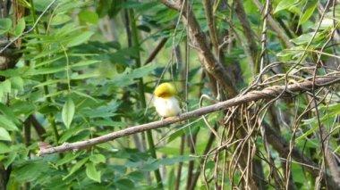 Ptak orientalne Białóoka (ptak — Wideo stockowe