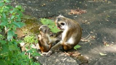 Funny macaque monkeys — Stock Video